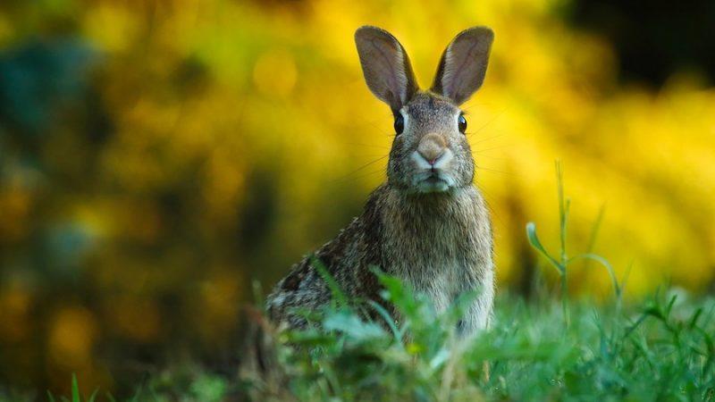 Hare har setts springa omkring