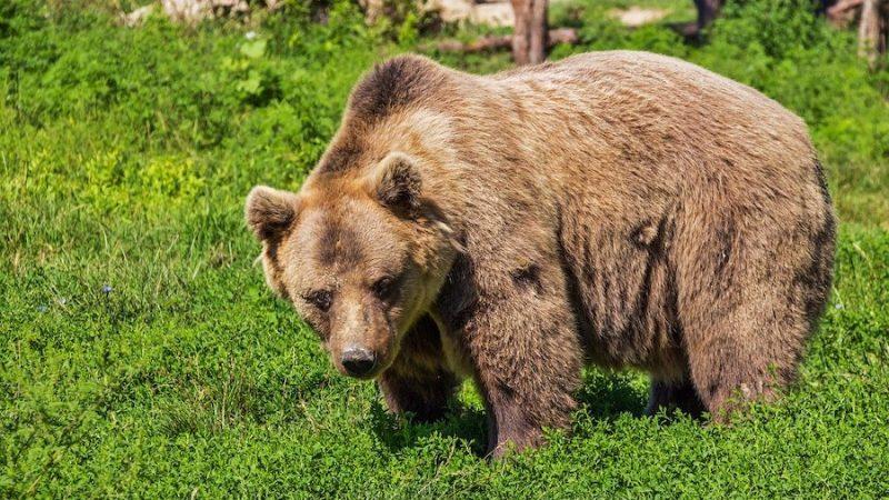 Björnjakten påbörjad på Gruvlyckan
